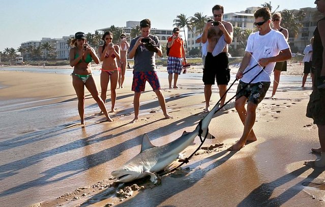 As beachgoers watch and take photos, Jorgensen hauls the shark ashore.  Jorgensen is working with researchers from Nova Southeasten University and St. Mary's Hospital to collect and analyze bacteria from sharks' mouths to help improve the selection of antibiotics used for victims of shark bite victims. They have caught 19 sharks so far, including the two 6-foot backtips they caught Friday, and hope to collect 50 for the project, including some from the Bahamas to get more species. (Photo by Lannis Waters/Palm Beach Daily News)