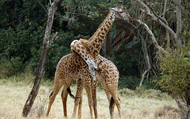 """Giraffes play """"twisting"""" his necks in the National Park of Nairóbi, Kenya, on March 11, 2013. (Photo by Marko Djurica/Reuters)"""