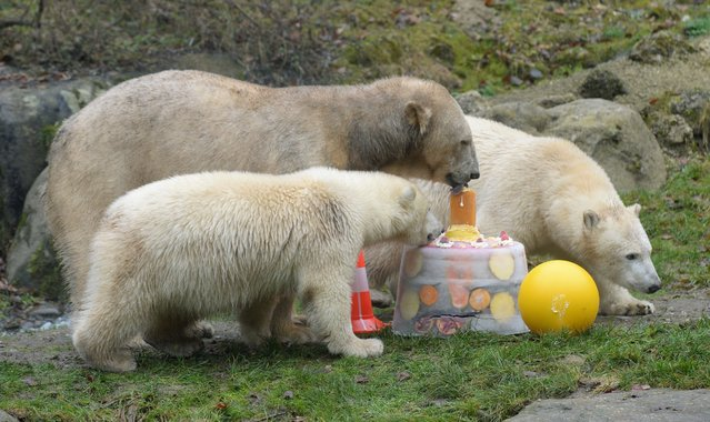 One year old polar bear twins Nobby and Nela and their mother enjoy a birthday ice cake during the cubs' first birthday party at the polar bears' outdoor enclosure at the Hellabrunn zoo in Munich, southern Germany, on December 9, 2014. Polar bear twins Nobby and Nela were born at the zoo of Munich on December 9, 2013. (Photo by Christof Stache/AFP Photo)