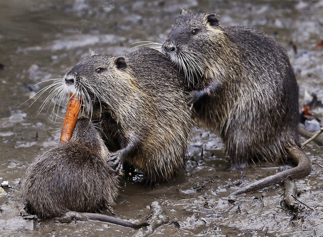 Nutrias fight for a carrot in the mud in a park in Frankfurt, Germany, Thursday, March 22, 2018. (Photo by Michael Probst/AP Photo)