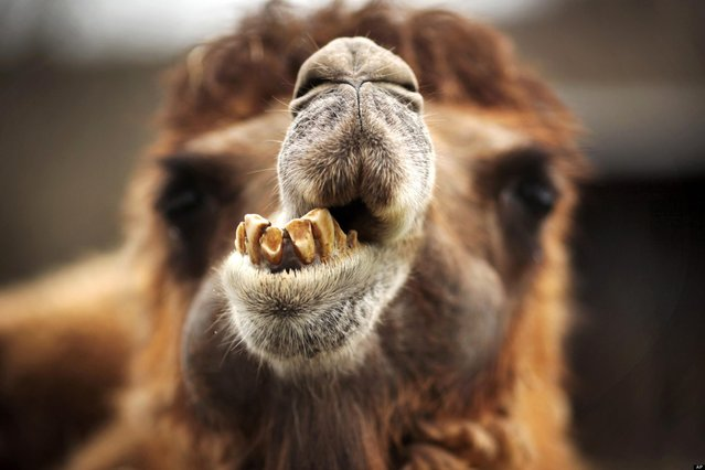 A Bactrian camel waits in its enclosure in the Opel Zoo, in Kronberg, near Frankfurt, central Germany, Sunday April 14, 2013. (Photo by Fredrik Von Erichsen/AP Photo/Dpa)