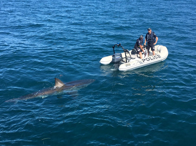 A shark swims near a police boat in this March 31, 2018 photo obtained from social media. (Photo by South Australia Police via Reuters)