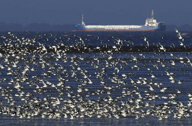 Flocks of wading and sea birds fly over the coastline as seasonal high tides force them off their feeding grounds closer to shore near Snettisham in Norfolk, Britain, October 20, 2016. (Photo by Toby Melville/Reuters)