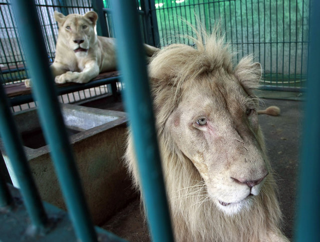 Lions rest inside an enclosure after a raid at a zoo-like house on the outskirts of Bangkok, Thailand Monday, June 10, 2013. (Photo by Apichart Weerawong/AP Photo)