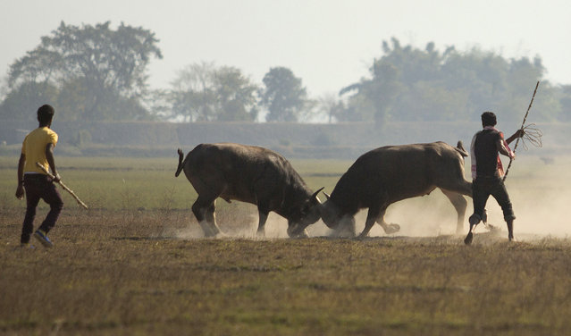 Owners watch their buffalos lock horns during a buffalo fight in Ahatguri, in the northeastern Indian state of Assam, Friday, January 16, 2015. Despite a Supreme Court ban on animal fights, villagers organized the buffalo fight as part of festivities to celebrate the Annual Magh Bihu, a harvest festival. (Photo by Anupam Nath/AP Photo)