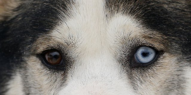 A husky with different coloured eyes waits by the track during a training session at Feshiebridge, in Aviemore, Scotland January 23, 2015. The Siberian Husky Club of Great Britain will hold its annual sled dog rally this weekend. (Photo by Russell Cheyne/Reuters)