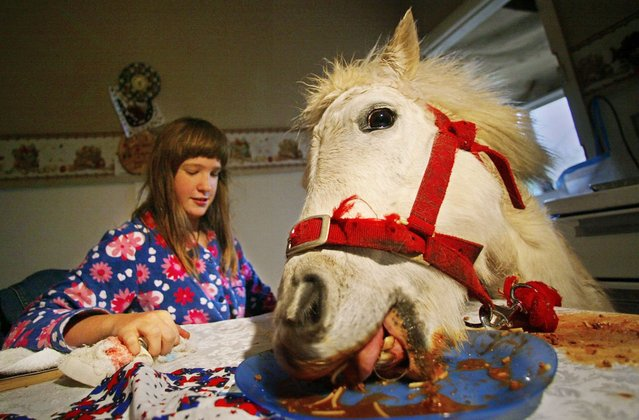 10-year-old Carissa Boulden watches her pet horse, named Princess, eat spaghetti bolognaise at the family's dining table at their home in Sydney, Australia on August 18, 2004. Princess, a Shetland pony, is given free run of the suburban Sydney house, eats with her owners at mealtimes and drinks beer every Sunday, but also provides therapy for Carissa who suffers cerebral palsy. (Photo by Tim Wimborne/Reuters)