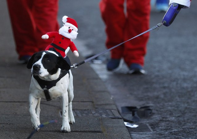 A dog carries a toy santa as it takes part in the annual 5KM Santa Dash in Liverpool, northern England December 4, 2016. (Photo by Phil Noble/Reuters)