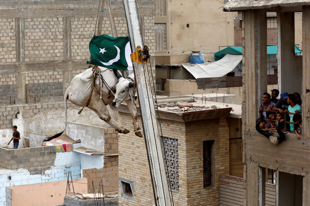 Residents look at a sacrificial cow, as it is descended from a rooftop with the help of a crane, ahead of Eid al-Adha festival in Karachi, Pakistan on August 12, 2018. (Photo by Akhtar Soomro/Reuters)