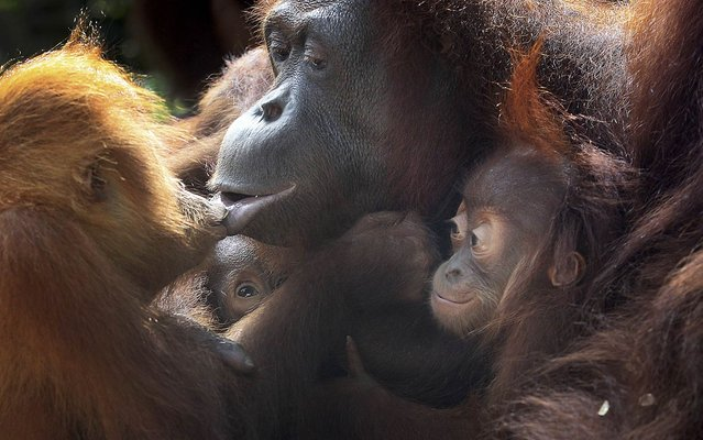 Two under a year old baby Bornean orangutans, second left and right, cling on to their mother while another 3-year-old orangutan kisses her, Thursday, October 3, 2013, at the Singapore Zoo. The Singapore Zoo is renowned for its flagship animal, the orangutan, and exhibits both the endangered Bornean and critically endangered Sumatran sub-species in a social setting. (Photo by Wong Maye-E/AP Photo)