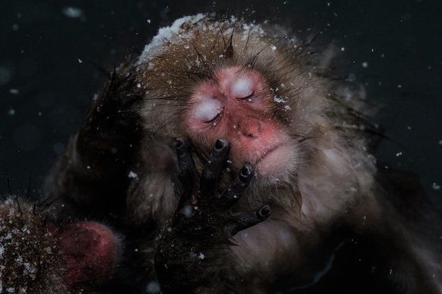 """Japanese wild monkeys known as """"snow monkeys"""" groom each other in a hot spring at the Jigokudani Wild Monkey Park in Yamanouchi town, Nagano prefecture, Japan on January 18, 2016. (Photo by Yasuyoshi Chiba/AFP Photo)"""