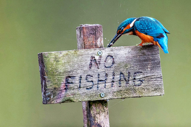 "This little kingfisher clearly didn't read the sign when it landed itself a minnow in a no fishing zone. Taxi driver Paul Bird, 52, from Newmarket, Suffolk, UK, captured this amusing moment whilst out looking to photograph kingfishers in Norfolk, an hour drive from his home. Paul explained: ""There are a total of six perches the bird was using from which to fish, one of them being the No Fishing sign"". (Photo by Paul Bird/Solent News & Photo Agency)"