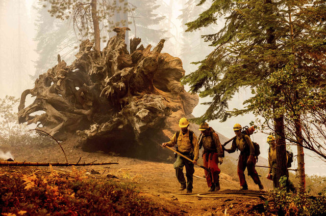 Firefighters battle the Windy Fire as it burns in the Trail of 100 Giants grove of Sequoia National Forest, Calif., on Sunday, September 19, 2021. (Photo by Noah Berger/AP Photo)