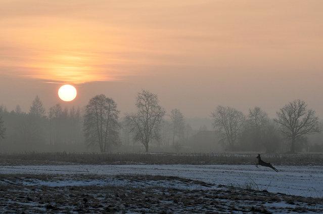 A deer jumps through a field at sunrise in Popielarze village near Warsaw on January 27, 2017. (Photo by Janek Skarżyński/AFP Photo)