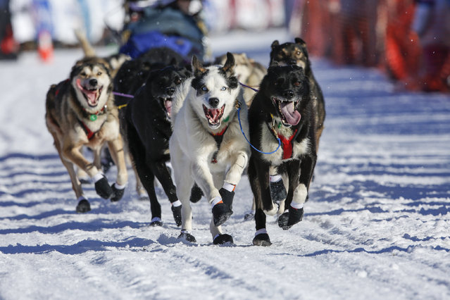 Robert Bundtzen's team leaves the start chute at the restart of the Iditarod Trail Sled Dog Race in Willow, Alaska March 6, 2016. (Photo by Nathaniel Wilder/Reuters)
