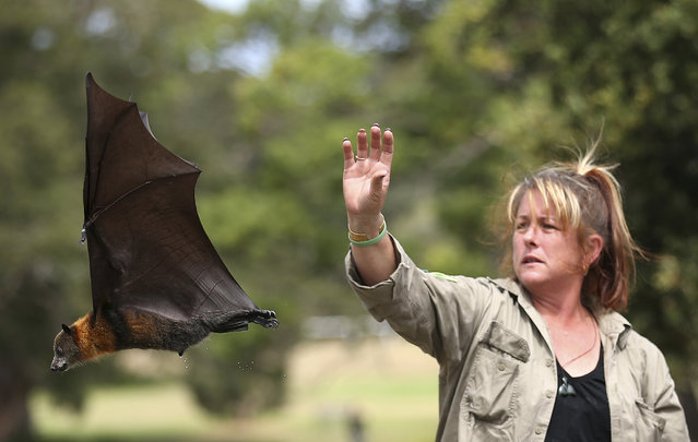 Wildlife carer Justine Coplin releases a Grey Headed Flying Fox in Centennial Park in Sydney, Australia, Wednesday, February 5, 2014. Each year thousands of native wildlife are rescued by volunteers when anti bird netting thrown loosely over fruit trees entangles birds, bats, and reptiles. The Grey Headed Flying Fox is classified as Vulnerable to extinction by the NSW Department of Environment & Heritage. (Photo by Rob Griffith/AP Photo)