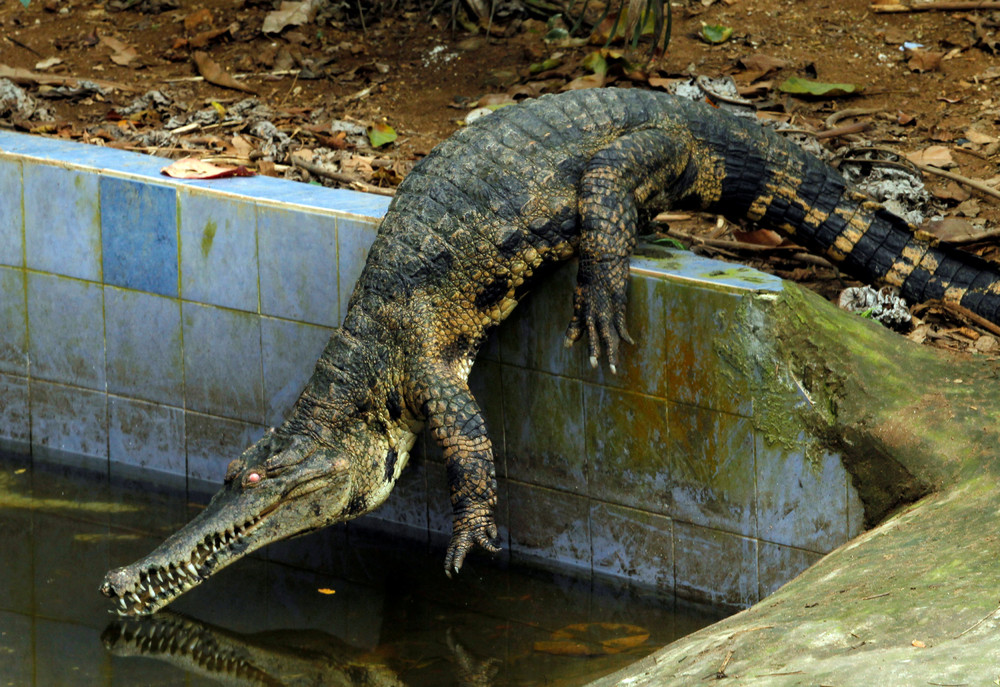 Crocodiles Bred at Abidjan's Zoo