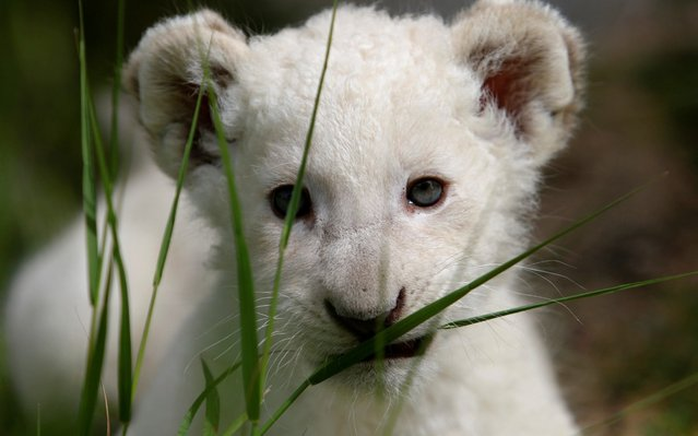 A newly-born white lion cub, named Simba, is seen in Paphos zoo, Cyprus April 14, 2019. (Photo by Yiannis Kourtoglou/Reuters)