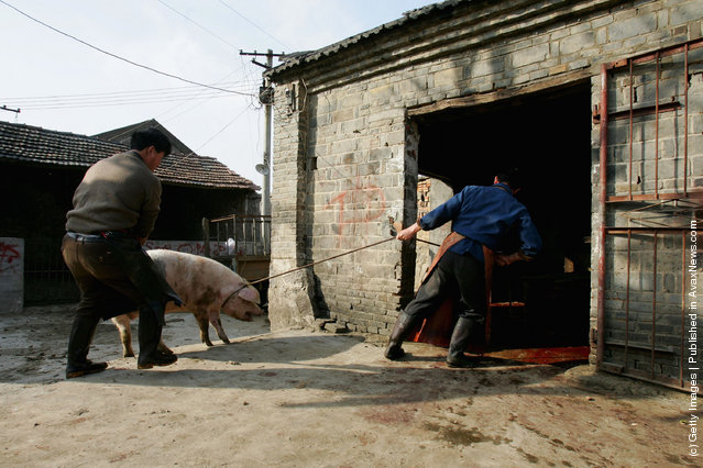 Chinese butchers catch a pig to slaughter