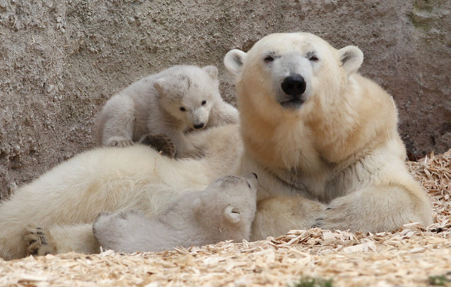 14 week-old twin polar bear cubs play next to their mother Giovanna during their first presentation to the media in Hellabrunn zoo on March 19, 2014 in Munich, Germany. (Photo by Alexandra Beier/Getty Images)