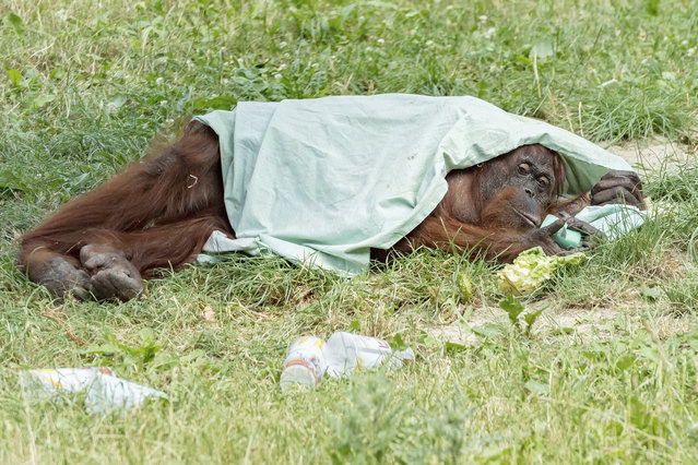 An orang-utan takes shelter from the sun under a blanket at the zoo Schoenbrunn in Vienna, Austria, Tuesday, June 25, 2019. Europe is facing a heatwave with temperatures up to 40 degrees. (Photo by Daniel Zupanc/Vienna Zoo via AP Photo)