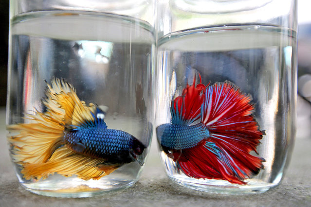 Betta fish or Siamese fighting fish are displayed for sale at a shop at a street in Hanoi, Vietnam, 16 June 2015. In Vietnam, Siamese fighting fish are popular as aquarium fish. Some also feed and let them fight as an entertainment since they are aggressive to their own species. (Photo by Luong Thai Linh/EPA)
