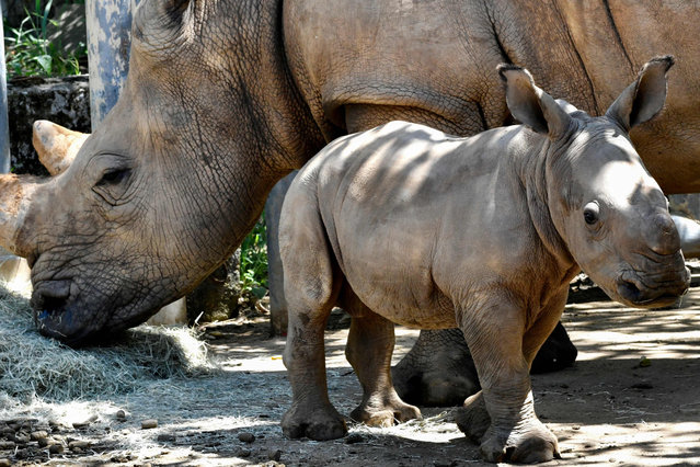 A 29-day-old male southern white rhinoceros, weighing some 80 kilogrammes, is seen with its mother A-ju at an enclosure at the Leofoo Village Zoo in Hsinchu on August 6, 2019. Zoo officials will hold a public campaign to name the baby rhino born in July 2019. (Photo by Sam Yeh/AFP Photo)