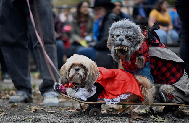 Two dogs dressed in costumes attend the Tompkins Square Halloween Dog Parade in Manhattan in New York City on October 20, 2019. (Photo by Johannes Eisele/AFP Photo)