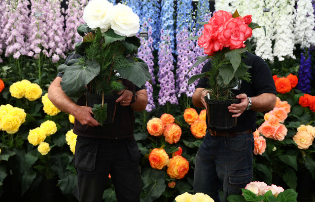 Gardeners prepare a display of begonia and delphinium flowers at the RHS Chelsea Flower Show in London, Britain, May 21, 2017. (Photo by Neil Hall/Reuters)