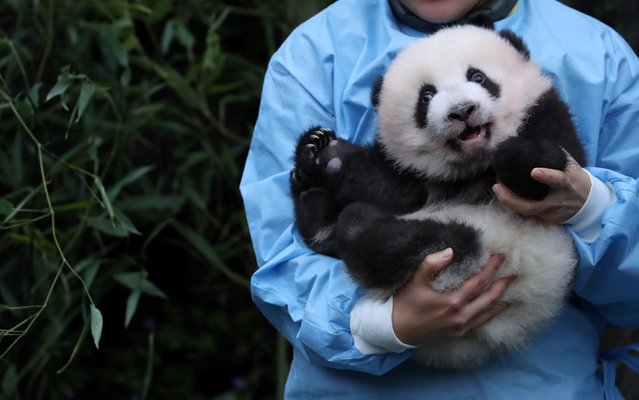 Three month-old twin panda cub Bao Di is seen at Pairi Daiza zoo in Brugelette, Belgium on November 14, 2019. (Photo by Yves Herman/Reuters)