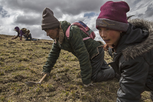 Tibetan nomad s crawl while harvesting cordycep fungus on May 20, 2016 near Sershul on the Tibetan Plateau in the Garze Tibetan Autonomous Prefecture of Sichuan province. (Photo by Kevin Frayer/Getty Images)