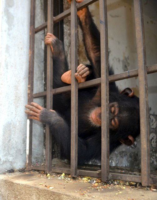 "Baby chimpanzee ""Sweetpea"" is seen inside a cell in Mamba Point neighborhood of Monrovia before rescue, in this undated photo released by Project to End Great Ape Slavery (PEGAS) on August 1, 2015. Kenyan officials said on July 31, 2015 they were considering conservationists' appeals to give two baby chimpanzees, rescued from possible traffickers in Ebola-hit Liberia, sanctuary in a Kenyan reserve but public health fears were holding up transfer. (Photo by Daniel Stiles/Reuters/PEGAS)"