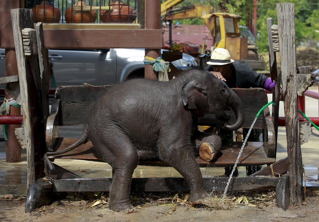 A mahout plays with an elephant at a camp in the ancient Thai capital Ayutthaya, north of Bangkok, Thailand, August 11, 2015. (Photo by Chaiwat Subprasom/Reuters)