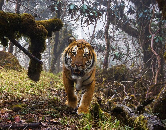 Rare images of wild tigers in Bhutan, captured by camera traps, show tigers and other animals using high-altitude wildlife corridors which are lifelines to isolated tiger populations and critical to genetic diversity, conservation and growth. Here: A wild Bengal tiger (Panthera tigris tigris) captured on a camera trap in corridor eight at an altitude of 3,540 metres in Trongsa, Bhutan. (Photo by Emmanuel Rondeau/WWF UK/The Guardian)