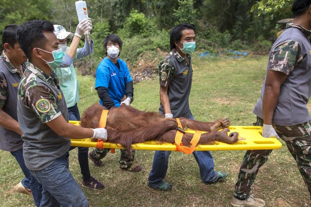 An orangutan is carried on a stretcher by Thai veterinarians and wildlife officers to a cage after a health examination at Kao Pratubchang Conservation Centre in Ratchaburi, Thailand, August 27, 2015. (Photo by Athit Perawongmetha/Reuters)