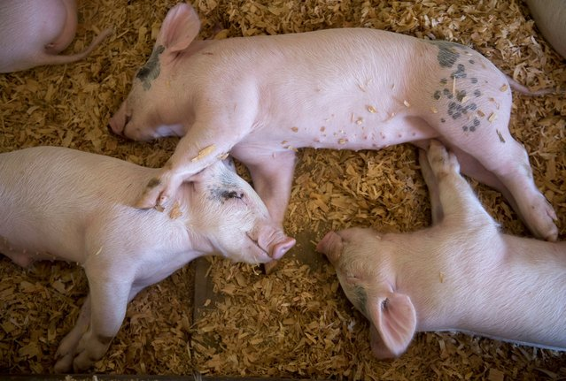 Piglets take a nap in the swine barn at the Douglas County Fair in Roseburg, Ore., on Thursday, August 9, 2012. The rural southwestern Oregon community each year hosts a typical American county fair with carnival rides, 4-H animals, and blue ribbon winning vegetables. (Photo by Robin Loznak/msnbc.com)