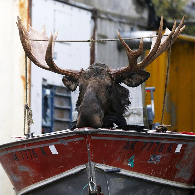 A freshly killed moose head is strapped to the bow of a boat in Dillingham, Alaska September 2, 2015. U.S. President Barack Obama made a stop Wednesday in Dillingham, home to one the world's largest sockeye salmon fisheries. (Photo by Jonathan Ernst/Reuters)