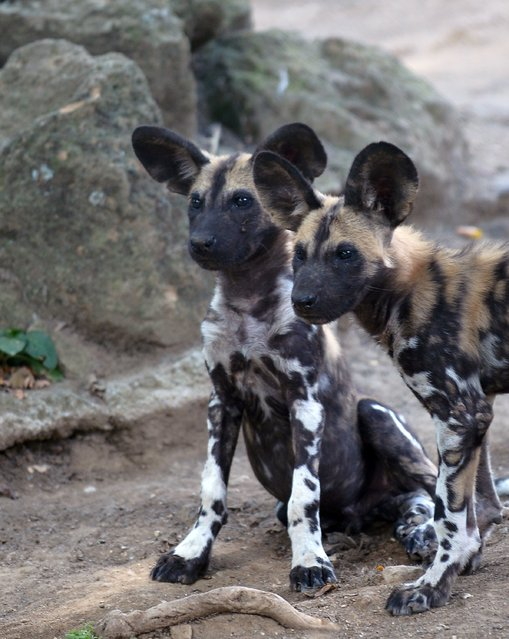 Young African wild dogs are seen at a zoo in Rome, on August 25, 2014. The 3-month-old siblings, named Zampa and Sax, had been presented to the public a few days earlier. (Photo by Tiziana Fabi/AFP Photo)