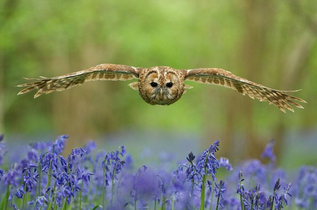 """Owl"". Portraits category submission. (Photo by Matt Binstead/British Wildlife Photography Awards 2014)"