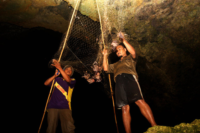 Bat catchers Martono (L) and Gunawan (R) collects bats captured in a cave on July 31, 2009 in Yogyakarta, Indonesia