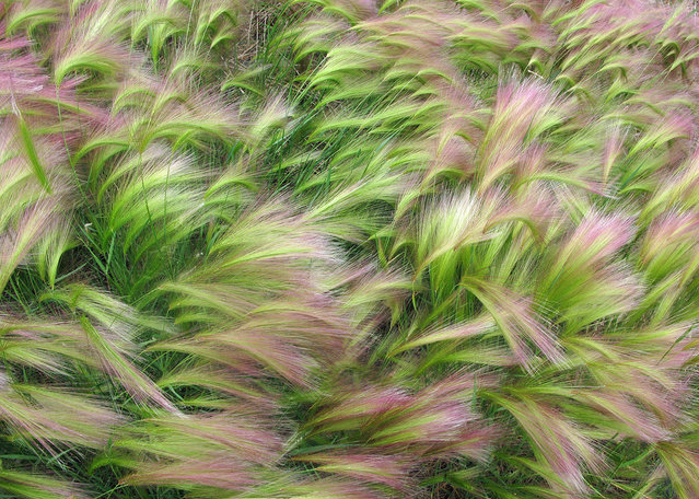 "Wind Swept Foxtail Barley: My wife and I traveled by RV to Alaska during July and August 2012 to celebrate our 50th wedding anniversary. To define the natural beauty there one word comes to mind – ""Majestic"". An awesome trip with thousands of images. This image in particular stood out from all the rest. We spent about a week in Chicken, Alaska where the foxtail barley was growing everywhere. I must have taken 50 images of the barley but this one best conveyed the wave and flowing nature of the subject and the simple beauty I experienced while photographing them. (Photo by Jim Cottingham/National Geographic Photo Contest"