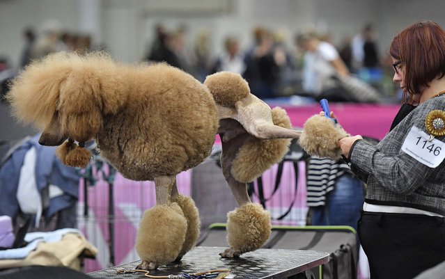 A poodle is prepared for his competition at the Dog Show in Dortmund, Germany, on Friday, October 13, 2017. Thousands of dogs will be judged by international jurys at Germany's biggest show in the Dortmund fair halls until Sunday. (Photo mby Martin Meissner/AP Photo)