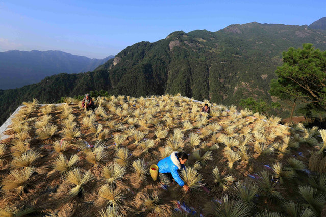 Villagers dry crops during harvest season in a village in Liuzhou, Guangxi Zhuang Autonomous Region, China October 22, 2017. (Photo by Reuters/China Stringer Network)
