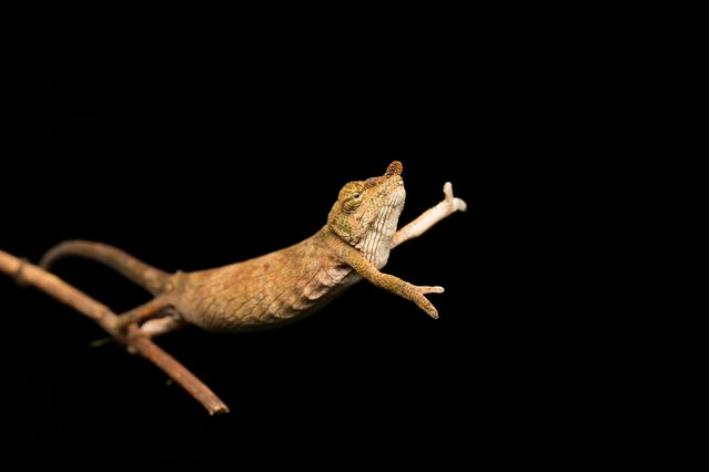 A Calumma nasutum, the nose-horned chameleon seen dancing on the end of a branch in Andasibe, Madagascar. (Photo by Jasmine Vink/Comedy Wildlife Photography Awards/Barcroft Media)