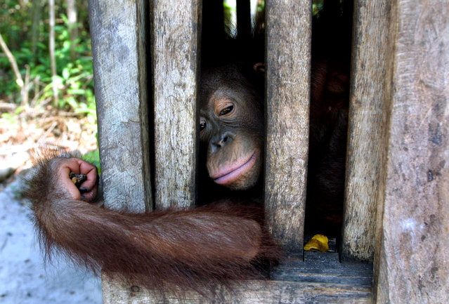 An orphaned orangutan baby rests in it's cage September 1, 2001 at Camp II in the Tanjung Puting National Park in Kalimantan on the island of Borneo, Indonesia. (Photo by Paula Bronstein/Getty Images)