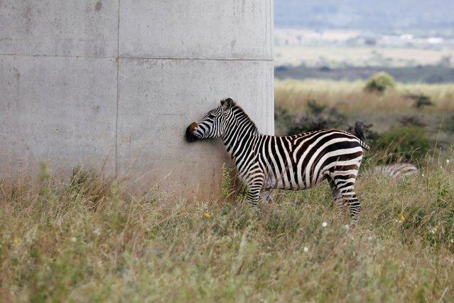 A zebra scratches itself against a pillar of a bridge of the Standard Gauge Railway (SGR) line, inside the Nairobi National Park in Nairobi, Kenya on July 9, 2020. (Photo by Baz Ratner/Reuters)