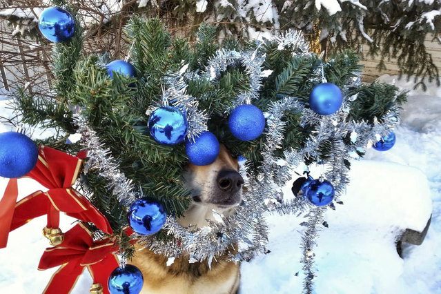 Toby balances a christmas tree on his head. (Photo by Pat Langer/Caters News Agency)