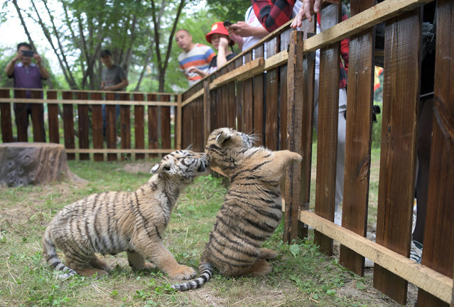 Siberian tiger cubs are seen at the Hengdaohezi Siberian Tiger Park in Hailin, northeast China's Heilongjiang Province, July 29, 2020. The annual International Tiger Day, also known as Global Tiger Day, is celebrated on July 29. (Photo by Xinhua News Agency/Rex Features/Shutterstock)
