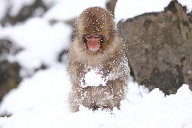 """Child Monkey is Making a Snow Ball. Snow monkey at """"Jigokudani hot-spring"""" in Nagano, Japan. (Kiyoshi Ookawa)"""