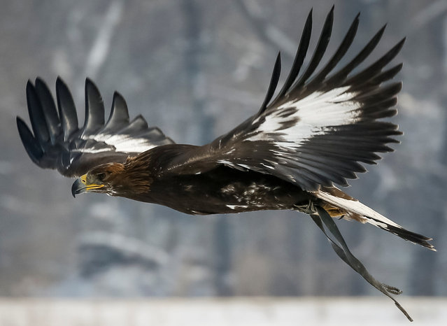 A tamed golden eagle soars during the annual hunters competition at Almaty hippodrome, Kazakhstan on February 8, 2018. (Photo by Shamil Zhumatov/Reuters)